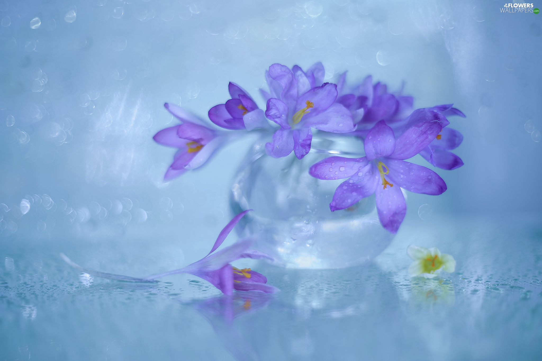 glass, vase, purple, Flowers, crocuses