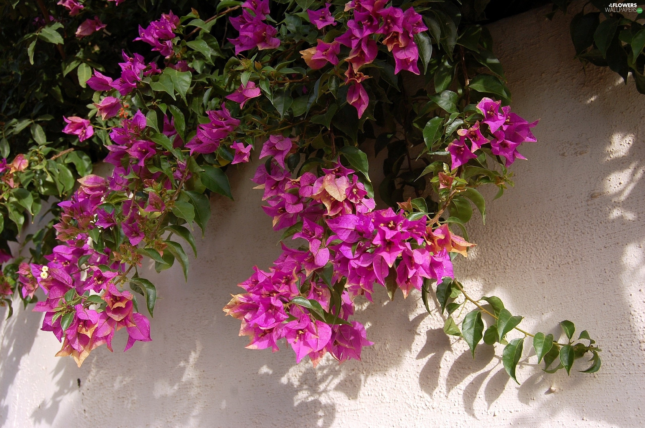 Bush, Bougainvillea, wall, Pink