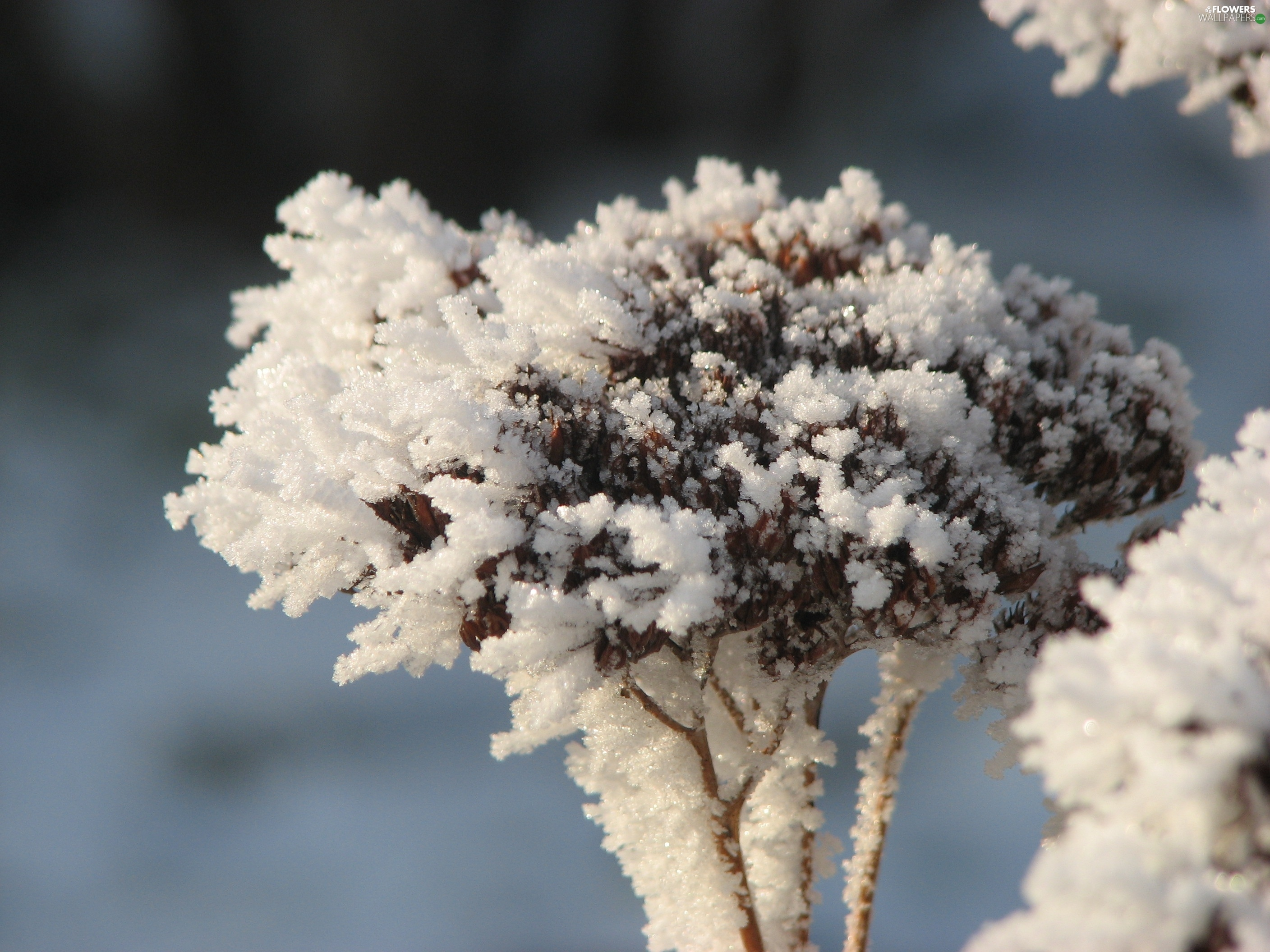 Sedum, winter