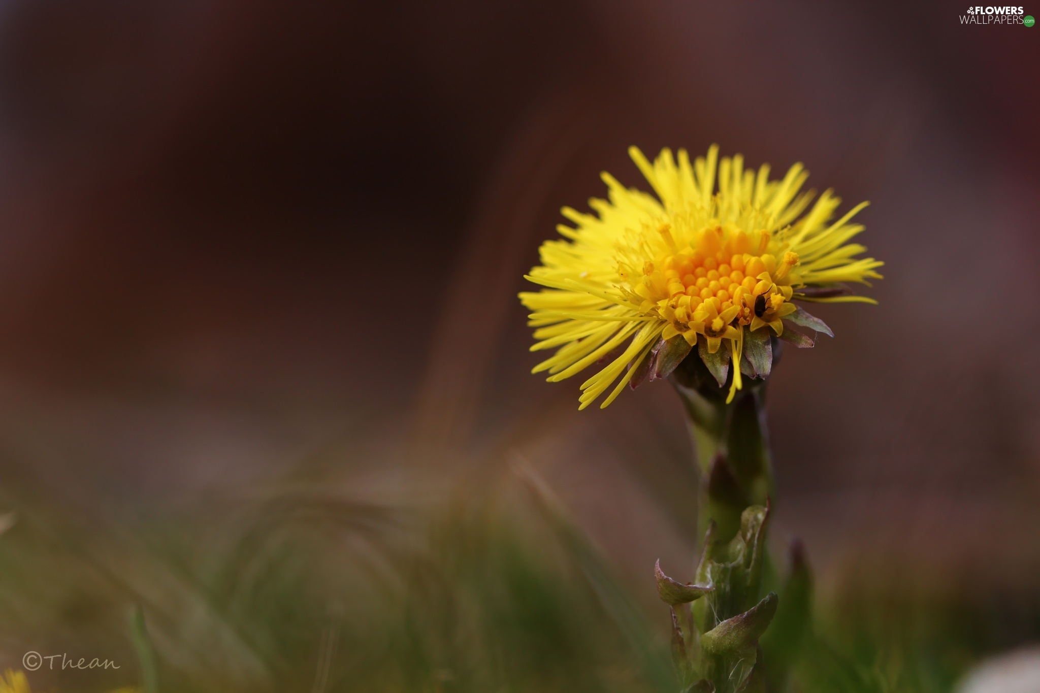 Colourfull Flowers, Common Coltsfoot, Yellow
