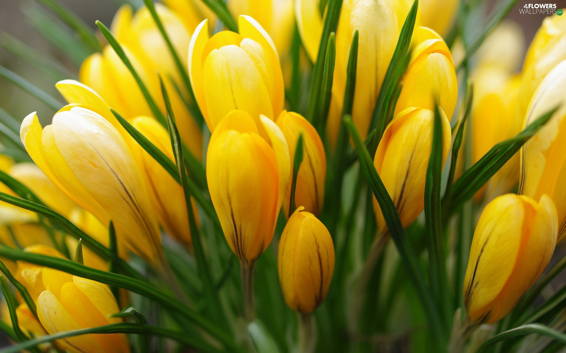 Flowers, crocuses, Buds, Yellow