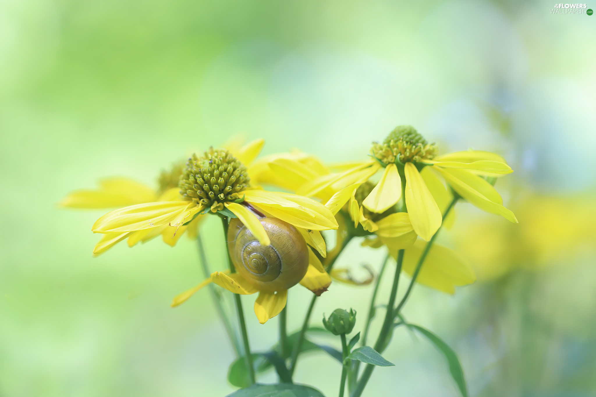 Rudbeckia, Flowers, snail, Yellow