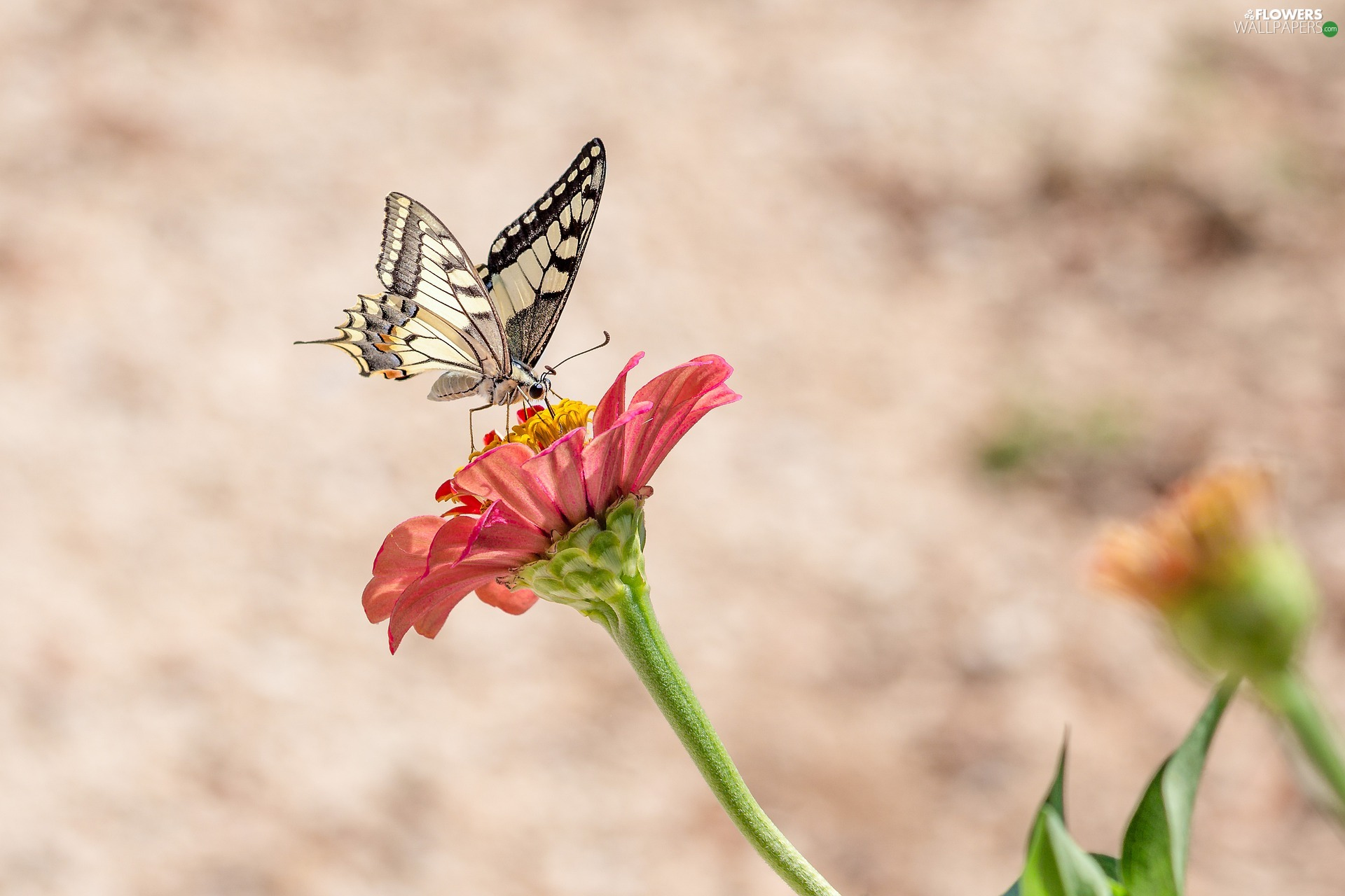 butterfly, Colourfull Flowers, zinnia, Oct Queen