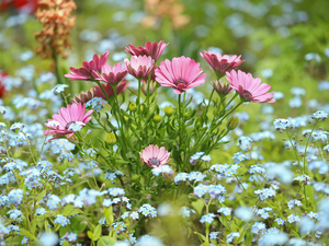 Pink, African Daisy, Forget, Flowers