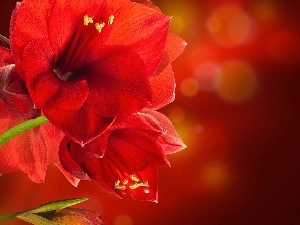 Red, amaryllis