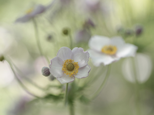 Colourfull Flowers, Japanese anemone, Light Pink