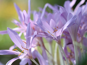 colchicums, crocuses, Flowers, Autumn