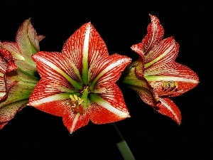 amaryllis, Black, background, Red