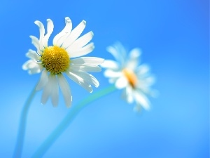 chamomile, Blue, background, Flowers
