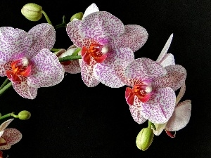 dappled, Black, background, orchid