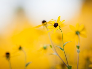 fuzzy, background, Flowers, Rudbeckia, Yellow