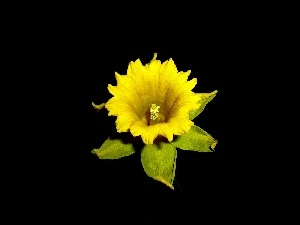 background, jonquil, Flower, Black, Yellow