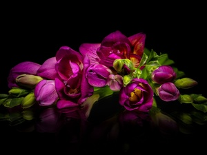 Black, background, Pink, Freesias, Flowers