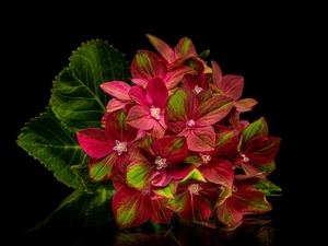 hydrangea, Colourfull Flowers, Black, background, Leaf, Red