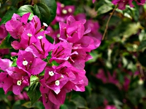 Bougainvillea, Blossoming