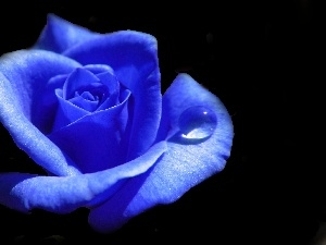 rose, Colourfull Flowers, Blue