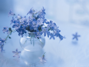 Campanula, Blue, Flowers, Dalmatian bellflower