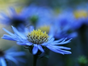 Colourfull Flowers, Aster, blue