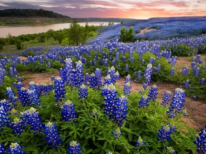 Flowers, lupine, River, blue