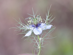 Nigella, Colourfull Flowers, Blue