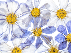 White, Flowers, Cosmos, Blue