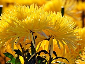 Yellow, Needle, blur, Chrysanthemums