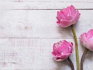 lotuses, boarding, Flowers, Three, Pink