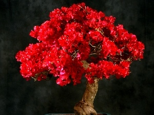 Red, sapling, Bonsai, Bougainvillea