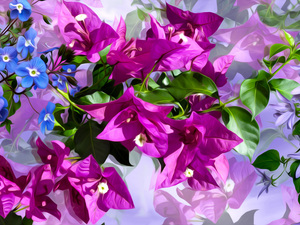 Flowers, Forget, graphics, Bougainvillea