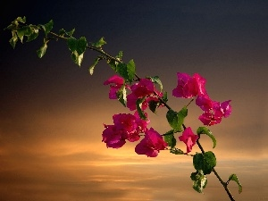 Bougainvillea, twig, Flowers
