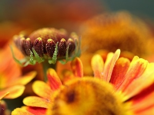 Yellow, Flowers, bud, Helenium, Red, color