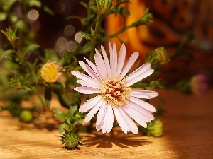 Aster, Buds