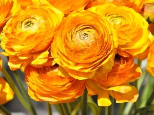 Flowers, Asian Ranunculus, buttercup