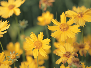Calliopsis, Flowers, Yellow