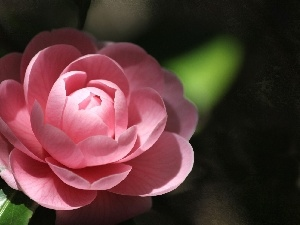 Pink, camellia