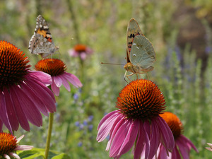 Two cars, Flowers, echinacea, butterflies