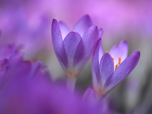 Two cars, purple, Flowers, colchicums