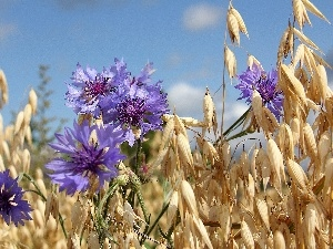 cereals, cornflowers, Ears