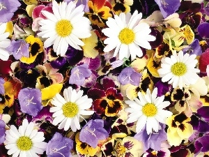 Flowers, different, chamomile, ##, pansies, color