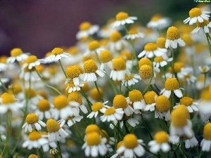 Chamomile Common, Meadow
