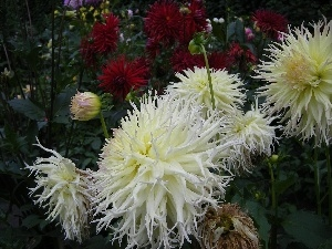 Flowers, Garden, chrysanthemum, summer