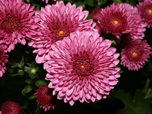 Pink, chrysanthemum