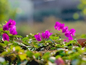 Flowers, leaves, Close, Bougainvillea