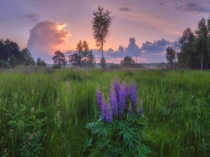 lupine, Meadow, viewes, clouds, trees, Flowers