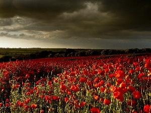 Red, cultivation, clouds, papavers