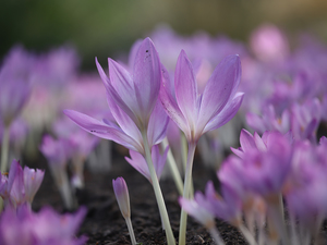 developed, purple, Flowers, colchicums