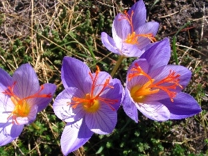 Flowers, colchicums