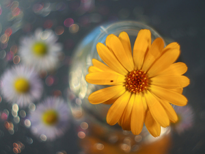 color, Bokeh, Yellow, Colourfull Flowers, Marigold