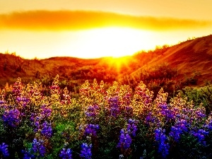 Flowers, lupine, Meadow, color, rays of the Sun