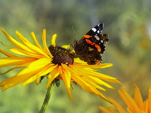 butterfly, Mermaid Admiral, Colourfull Flowers, Rudbeckia, Yellow